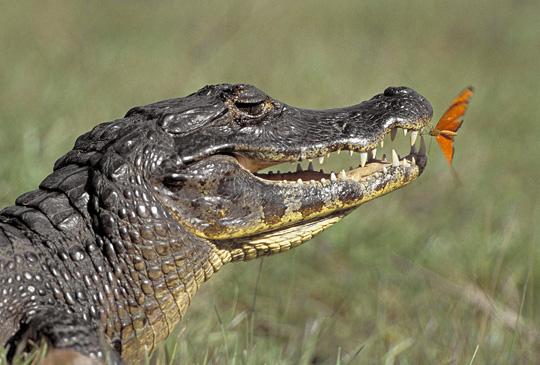 Crocodiles (photos)