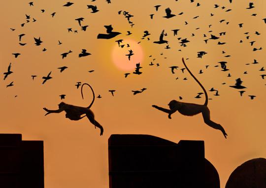 Jeux de singe au Rajasthan • Didier Jallais