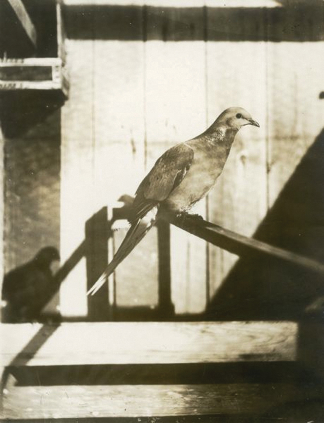 Pigeon migrateur © Wisconsin Historical Society