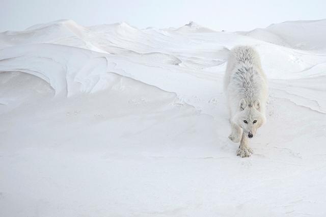 © Vincent Munier, lauréat de la catégorie animalière