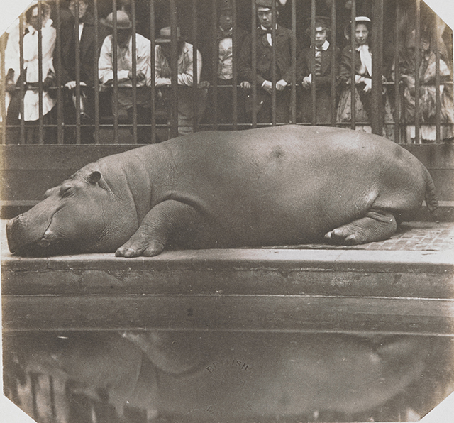 Don Juan, Count of Montizon, Hippopotame au Jardin zoologique Regent's Park, à Londres - 1852 © British Library Board