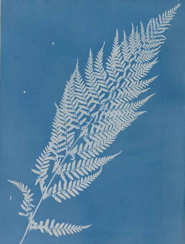 Gymnogramma calomelanos, Jamaica – Anna Atkins – 1851-1854 – cyanotype