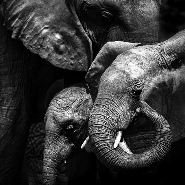Tembo, ou le silence des derniers pachydermes • Nicolas Orillard-Demaire (série)