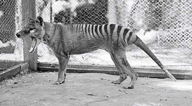 Thylacine © collection particulière Errol Fuller