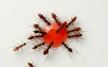 Une goutte de grenadine, une poignée de fourmis, un timelapse