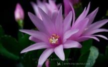 Quand les fleurs éclosent, un time lapse tout en délicatesse