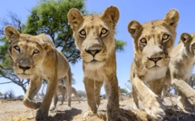 Photographier au plus près des lions, avec Chris McLennan